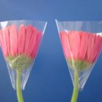 Gerbera Cups – The packaging solution to protect the gerbera flower!